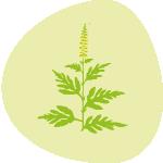Herbes à poux